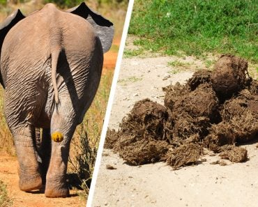 An elephant poops over 15 times in a day