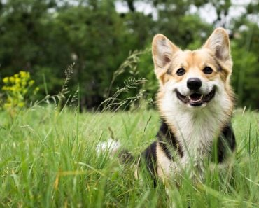 Happy and active purebred Welsh Corgi dog outdoors in the grass on a sunny summer day(Veronika 7833)s