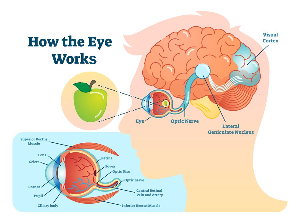 Pupil Reflex  What Is The Function Of The Pupillary Light