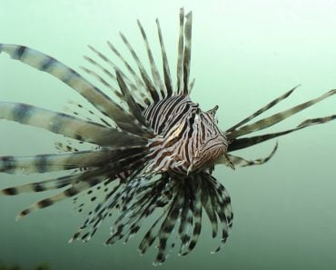 Lionfish, an invasive species, off the coast of florida( Beth Swanson)s