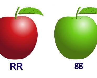 mandel's low of dominance apple