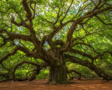Angel Oak Tree Panorama(Mike Ver Sprill)S