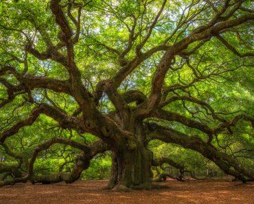 Angel Oak Tree Panorama(Mike Ver Sprill)S