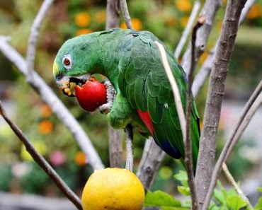 Parrot eating fruit(Herbert Eisengruber)s