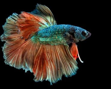 Rhythmic of Betta fish, Siamese fighting fish(songpon pengnok)s
