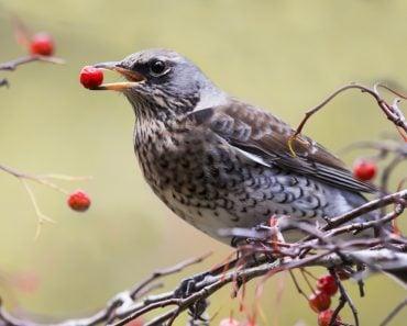 the Blackbird holds the red berries(Bachkova Natalia)S