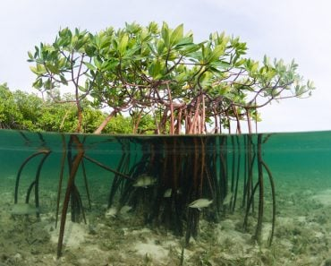 A beautiful over-under image of a mangrove system in the Bahamas(Joost van Uffelen)s