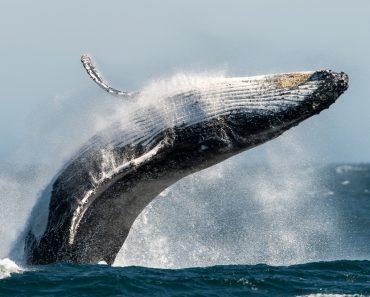 Breaching Humpback whale(Trevor Scouten)s