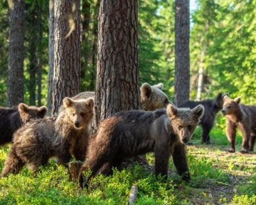 She-bear and Cubs in the summer forest(Sergey Uryadnikov)S