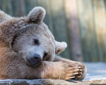 Sleeping brown bear in zoo(Luca Pape)S