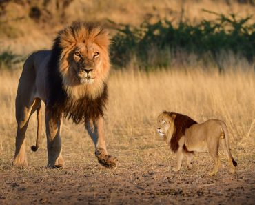 big lion and small lion