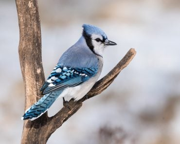 Blue Jay in Winter(FotoRequest)S