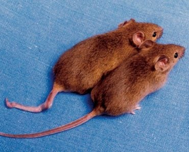Cloned mice with different DNA methylation