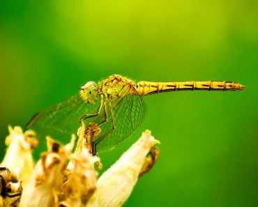 Dragonfly on flower macro view(MS555)S