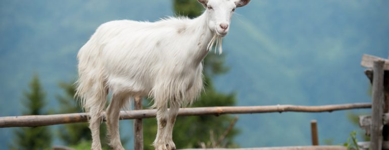 Goat on a pasture in Carpathians(Gorb Andrii)S