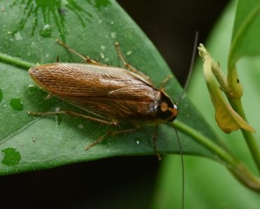 Pale margined Forest Cockroach(jaiman taip)s