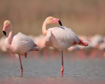 Pink big birds Greater Flamingos(Ondrej Prosicky)s