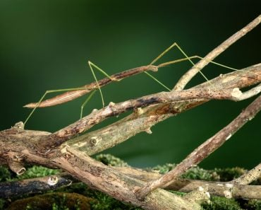 Stick insect or Phasmids (Phasmatodea or Phasmatoptera) also known as walking stick insects(Mark Brandon)s