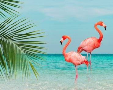 flamingos standing in clear blue sea with sunny sky with cloud and green coconut tree leaves in foreground(iarecottonstudio)S