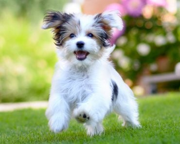 puppy caught in motion while running on vibrant green grass(michaelheim)s