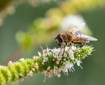 Macro of a honey bee (apis mellifera) on a mint (menta piperita) blossom with blurred bokeh background(cherryyblossom)S