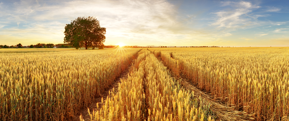 Gold Wheat flied panorama with tree at sunset, rural countryside(TTstudio)S