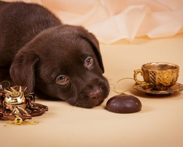 Chocolate brown Labrador retriever puppy dog with tea cup ans sweets on tan background studio photo(Natalia Fedosova)S