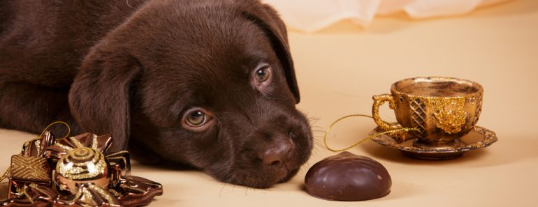 Chocolate brown Labrador retriever puppy dog with tea cup ans sweets on tan background studio photo(Natalia Fedosova)S