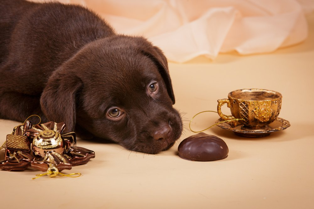 Is Chocolate Poisonous To Dogs? » Science ABC