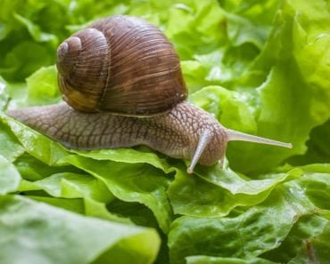 Slug eating lettuce leaf. Snail invasion in the garden(Alexander Raths)S