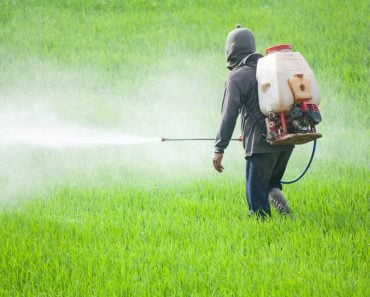 farmer spraying pesticide in the rice field(comzeal images)s