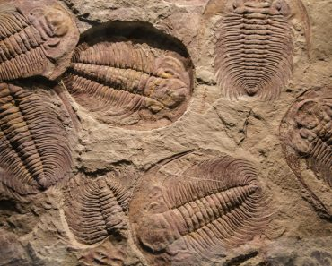 fossil trilobite imprint in the sediment(Abrilla)s