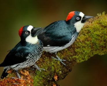 Acorn Woodpecker, Melanerpes formicivorus. Beautiful two bird sitting on the green mossy branch in habitat(Ondrej Prosicky)S