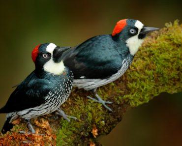 Acorn Woodpecker, Melanerpes formicivorus. Beautiful two bird sitting on the green mossy branch in habitat(Ondrej Prosicky)S