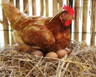 The hen is hatching the egg in the coophatching the egg(PhotoSongserm)s (2)