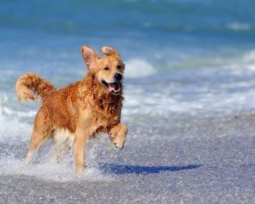 Young golden retriever running on the beach(Volodymyr Burdiak)s