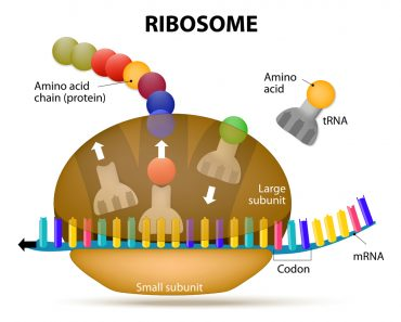 The Interaction of a Ribosome with mRNA. Process of initiation of translation(Designua)s