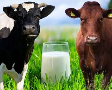 a1 and a2 cow milk diffrence