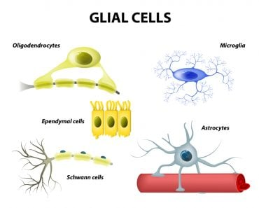 types of neuroglia(Designua)S