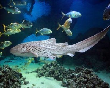 Leopard Zebra Shark (Stegostoma fasciatum) swimming with fishes over tropical reef(Tatiana Belova)s