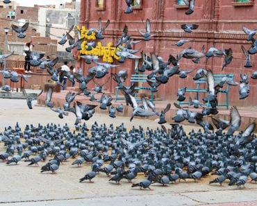 Group of pigeon pigeons in the ground outside Laxminath temple(OmMishra)S