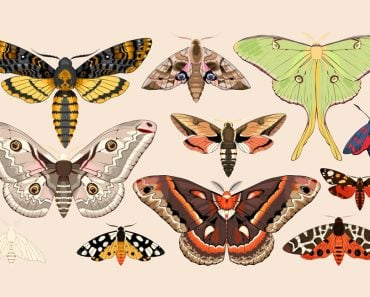 Set of moths and butterflies(GreyLilac)s