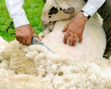 Shearing Sheep(Dalibor Sevaljevic)s