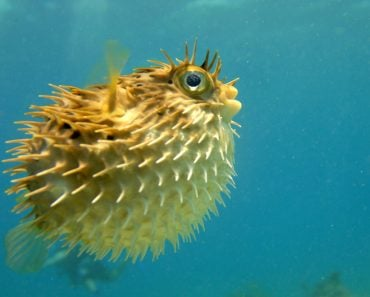 puffer fish seeming along(Kim Hefner)s