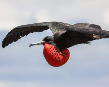 Close up of a male Magnificent frigatebird in flight with red pouch, Galapagos, Ecuador(Uwe Bergwitz)S
