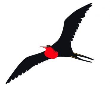Frigate Bird(haibo li)s