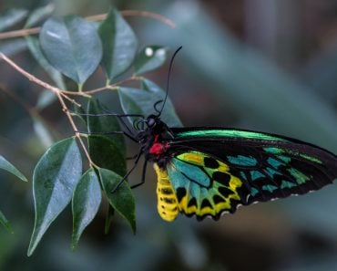 Ornithoptera alexandrae The Queen Alexandra's birdwing colorful butterfly close up(rossana morbiducci)S