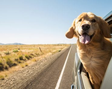 Golden Retriever Dog on a road trip(MPH Photos)s