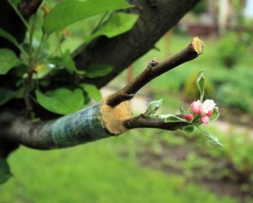 Live,Cuttings,At,Grafting,Apple,Tree,In,Cleft,With,Growing