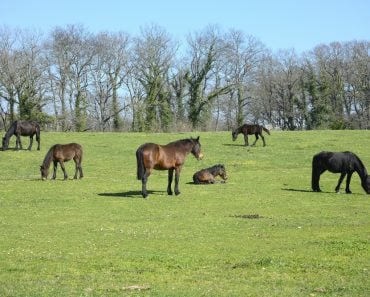 Horses grazing, resting, playing and sleeping on a green grass under the sun.
